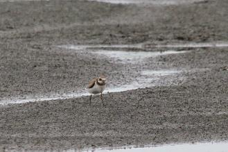 Common Ringed Plover, Sunset Dam, Lower Sabie