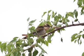Diderick's Cuckoo - female