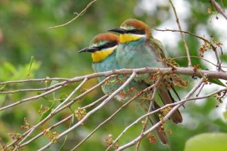 Lovebirds -European Bee-eaters