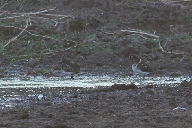 Greater Painted-Snipes - Mopani