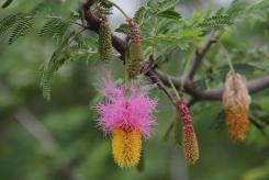 Dichrostachys cinerea (sickle bush) on the Western walk