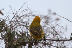 Lesser Masked Weaver - female
