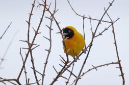Lesser Masked Weaver - male