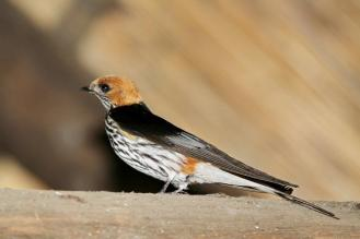 Lesser Striped Swallow in the hide with us