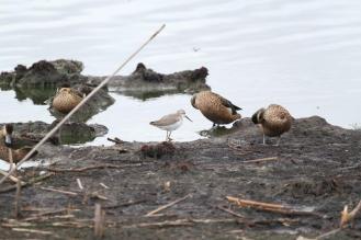 Marsh Sandpiper among friends