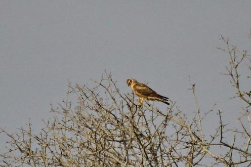 Pallid Harrier - juvenile