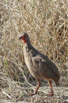 Red-necked Spurfowl -hybrid