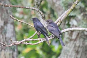 Southern Black Flycatchers - Parent and juvenile