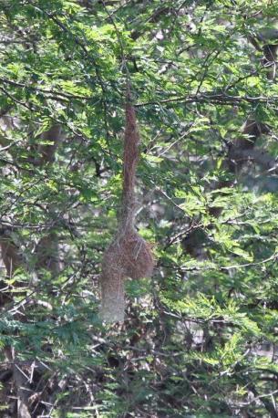 Spectacled Weaver's nest