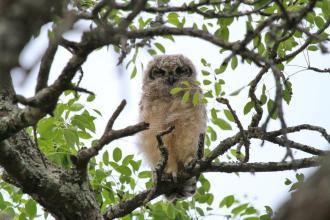 Spotted Eagle-Owl - juvenile