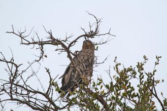 Tawny Eagle - is it one