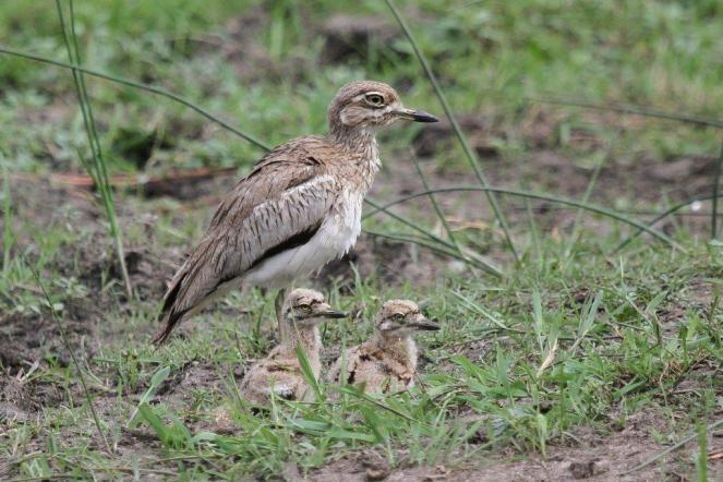 Water Thick-knee with 2 chicks