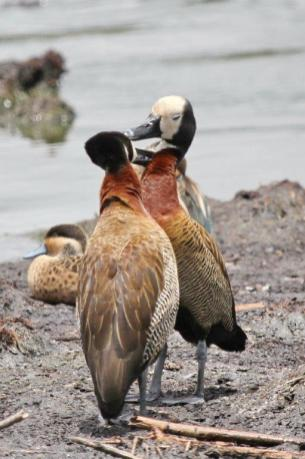 White-faced Ducks - canoodling