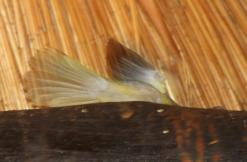 Yellow-breasted Apalis in the rafters