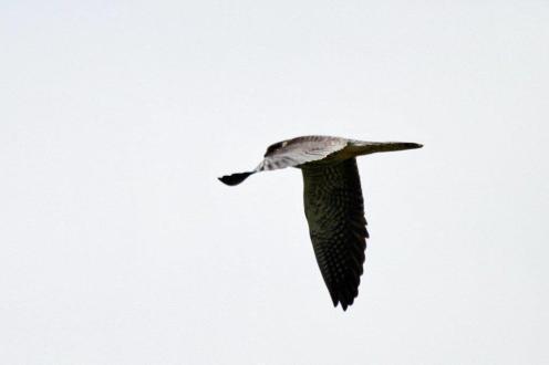 Amur Falcon