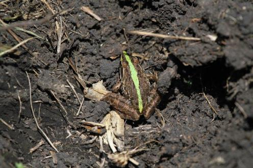 Green striped Frog