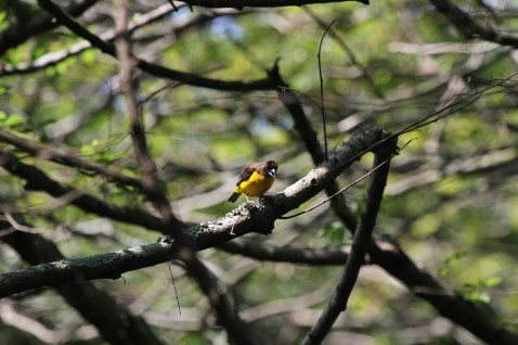 Dark-backed Weaver