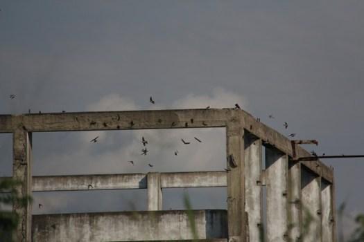 Mosque Swallows - Coutadas