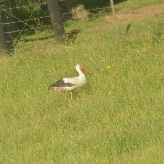 White Stork - Decklan