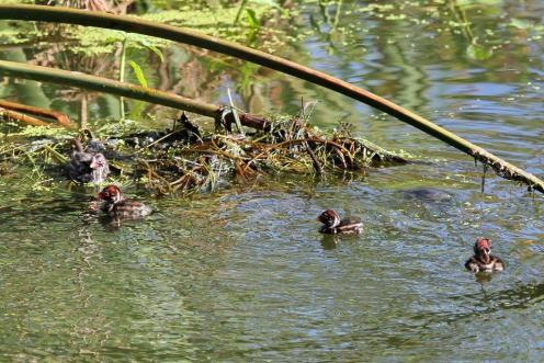 4 Little Little Grebes out for a swim