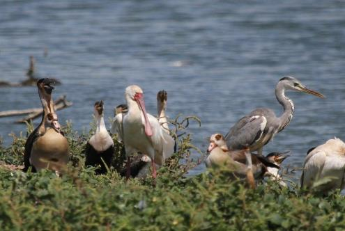 African Spoonbill and friends