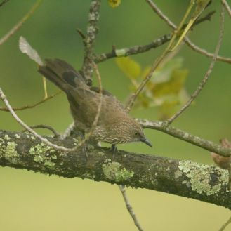 Arrow-marked Babbler - Decklan