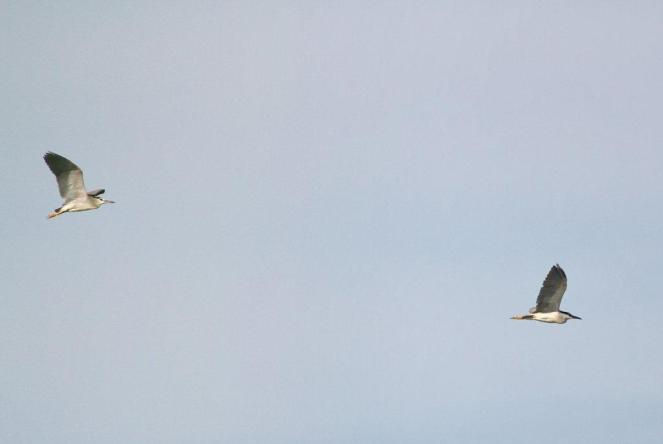 Black-crowned Night-Herons - first two.