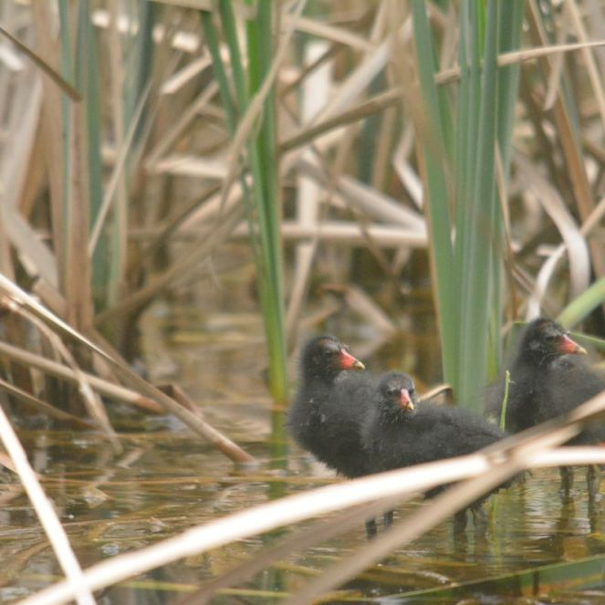 Common Moorhen chicks - Decklan
