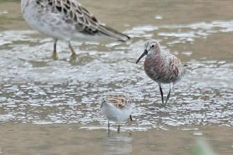 Curlew Sandpiper - changing