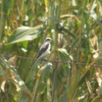 Lesser Grey Shrike - Decklan