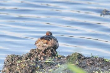 Little Grebe in repose