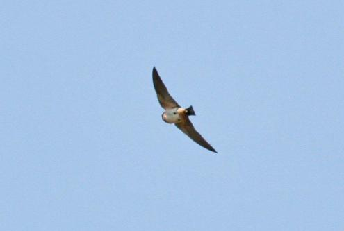 South African Cliff-Swallow