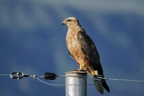 Steppe Buzzard - Paul