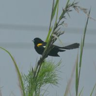 White-winged Widowbird - Decklan