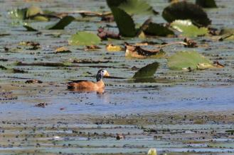 Male African Pygmy Goose.