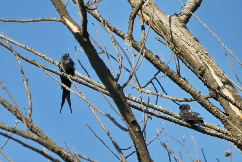 Black Saw-wing and juvenile