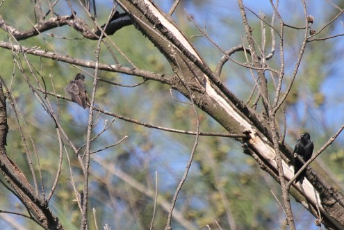 Black Saw-wing - juvenile and adult