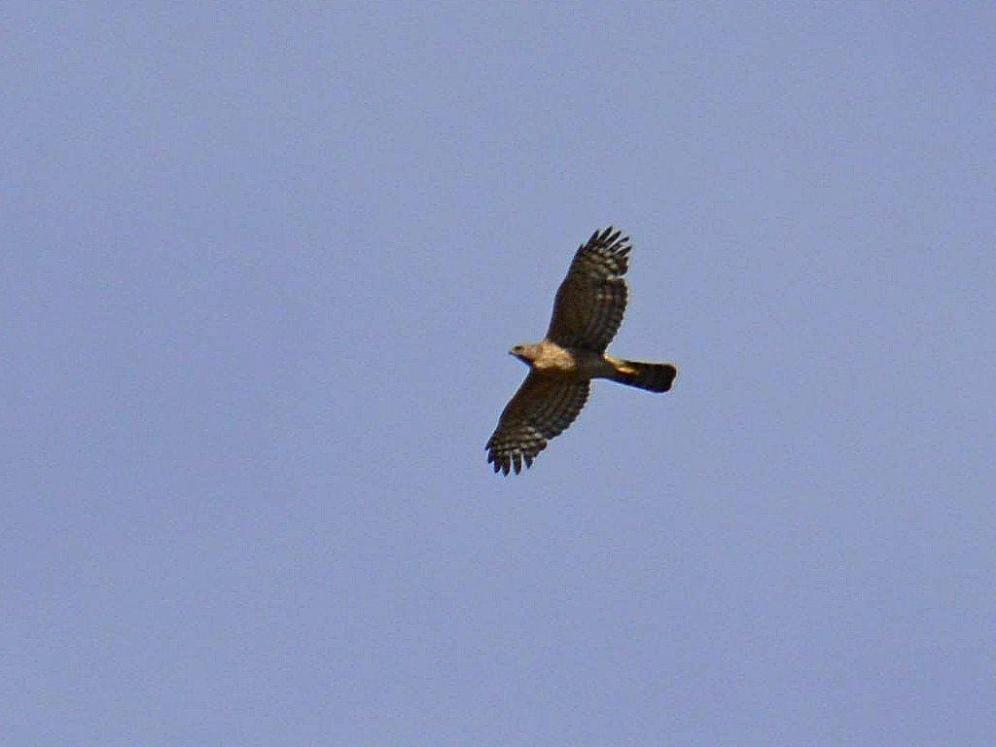 Black Sparrowhawk (Juvenile)