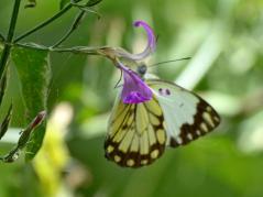Butterfly_D717963