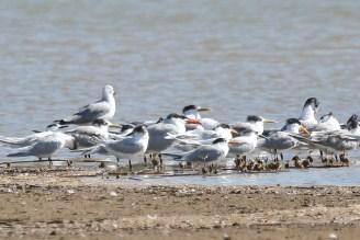 Caspian, Swift, Sandwich and Lesser Crested Terns