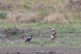 Pied Crow and African Fish-Eagle juvenile