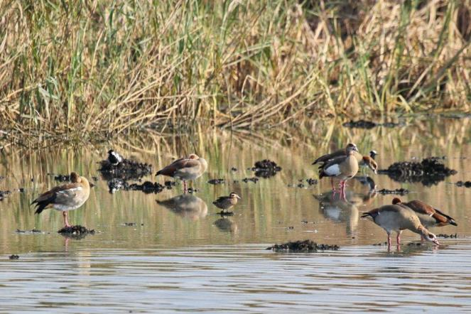 Hottentot Teal, Blacksmith Lapwing with Egyptian Geese.