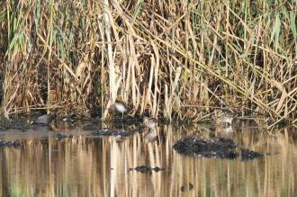 African Snipes and Black Crake