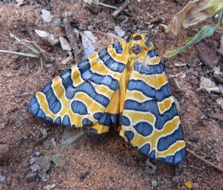 Beautiful Tiger Moth - Sandi du Preez