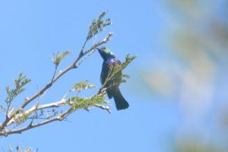 Purple-banded Sunbird - Decklan and Hennie