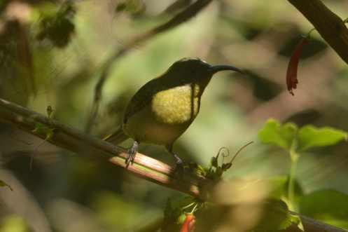 Olive Sunbird - Decklan and Hennie