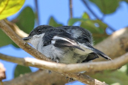 Fiscal Flycatcher - with undercarriage up