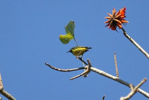 Collared Sunbird