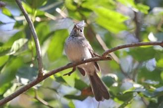 Blue-mantled Crested Flycatcher