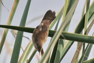 Little Rush Warbler